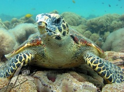 hawksbill turtle by Snippys snaps diving