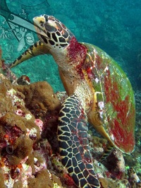 Hawksbill turtle resting at Malong Bay Phi Phi Island Thailand - Picture by Daniel/Snippy - Snippy's Snaps Diving