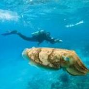 Cuttlefish in front of Diver - Picture property of PADI - Snippy's Snaps Diving - Dive Snippy