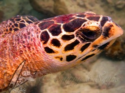 Hawksbill turtle head closeup - picture by Daniel / Snippy - Snippy's Snaps Diving