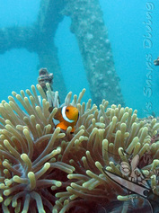 Nemo / Clownfish in anenome on artificial reef at Viking Cave / Table Coral City at Phi Phi Ley - Phi Phi Island - Thailand - Picture by Snippy's Snaps Diving