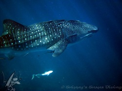 whaleshark in the blue. Picture by Snippy's Snaps Diving.  dive, snippy, snip snaps, scuba, duik, walvishaai, whaleshark,