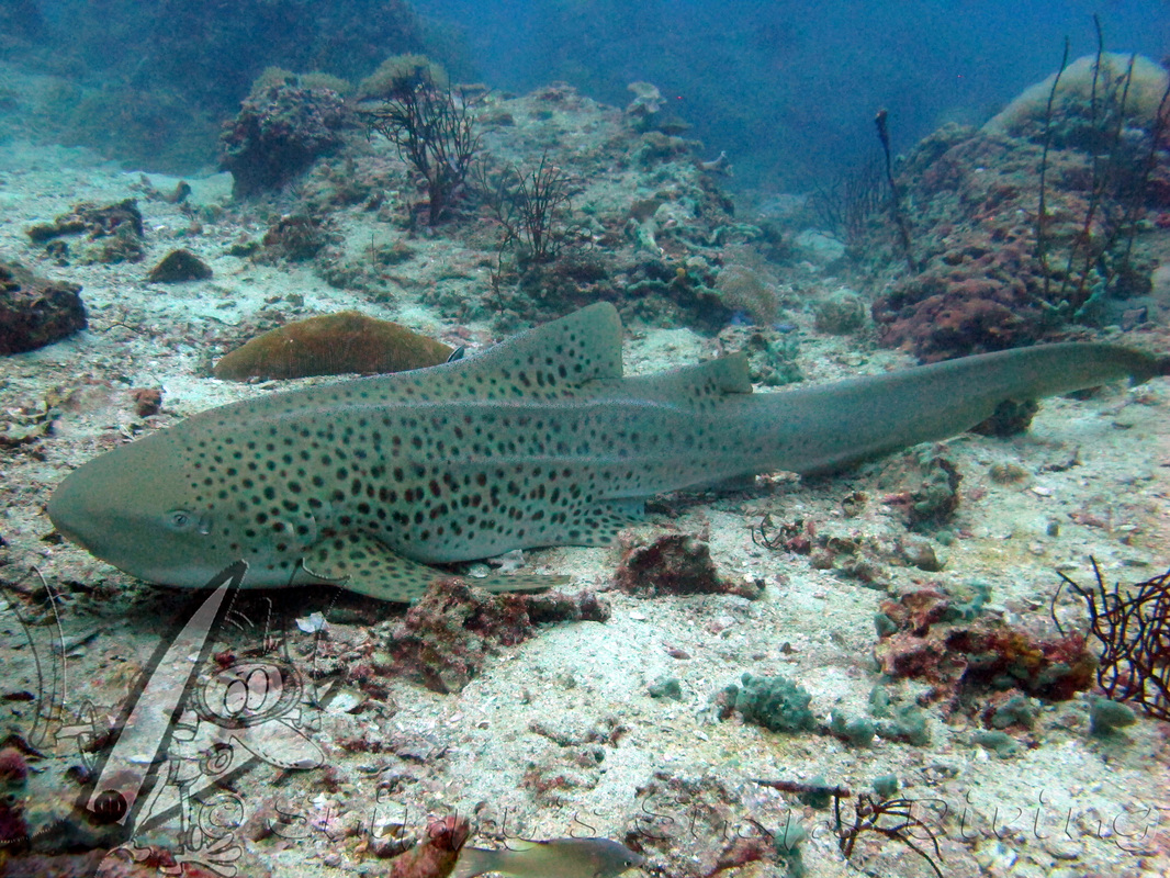 Leopard sharks - Phi Phi - Thailand - Snippy's Snaps Diving